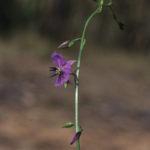 Dichopogon fimbriatus, image Alan Fairley