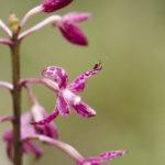 Dipodium punctatum, image Alan Fairley