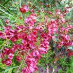 Dodonaea boroniifolia
