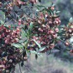 Dodonaea viscosa ssp angustifolia, image Alan Fairley