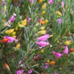 Eremophila racemosa flowers, image Ben Walcott