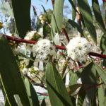 Eucalyptus gregsoniana, image Warren and Gloria Sheather