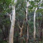 Eucalyptus haemastoma Scribbly Gum