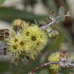 Eucalyptus kruseana, image Heather Miles