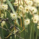 Eucalyptus viminalis (flower), image Alan Fairley