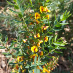 Eutaxia obovata flower, image Jeff Howes