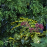 New growth of Davidson's Plum (Davidsonia pruriens), image Heather Miles