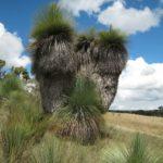 Large grass tree, image penelope Sinclair