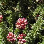 Grevillea lanigera 'Mt Tamboritha' flowers
