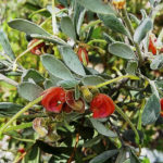 Grevillea arenaria subsp canescens