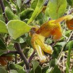 Grevillea chrysophaea