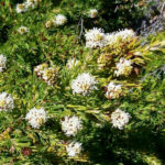 Grevillea crithmifolia