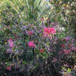 Red flowered grevillea