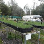 Casuarina seedlings at the Menai Group nursery
