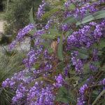 Hardenbergia violaceae. image Heather Miles