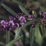 Hovea lanceolata, image Alan Fairley