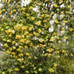 Hymenosporum flavum tree, image Heather Miles