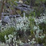 Flannel flowers, image Heather Miles
