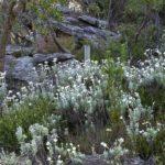 Flannel flowers, image Heather Miles