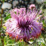 Isopogon cuneatus flower