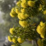 Xanthostemon chrysanthus, image Heather Miles