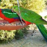 King Parrots, image Warren and Gloria Sheather