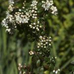Leionema lamprophyllum, image Alan Fairley