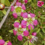 Leptospermum 'Aphrodite'