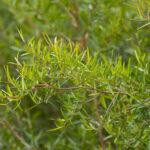 Leptospermum petersonii, image Heather Miles