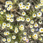 Leucochrysum albicans ssp tricolor, Image Tim Hayes
