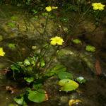 Liparophyllum exalatum