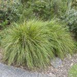 Lomandra 'Tanika' plants