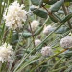 Lomandra leucophylla, image John Knight