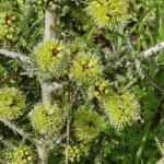 Melaleuca blaeriifolia