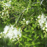 Melaleuca bracteata flowers