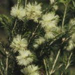 Melaleuca ericifolia, image Alan Fairley