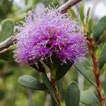 Melaleuca nesophila flower