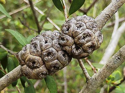 Melaleuca nesophila seed capsules