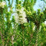 Melaleuca quadrifaria