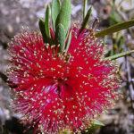 Melaleuca steedmanii