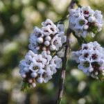 Micromyrtus ciliata flower