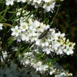 Myoporum floribundum