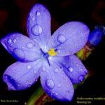 Orthrosanthus multiflorus, image Kevin Stokes