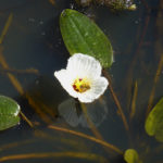 Ottelia ovalifolia