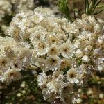 Ozothamnus diosmifolius flower
