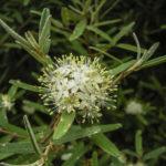Phebalium squamulosum ssp. squamulosum flower