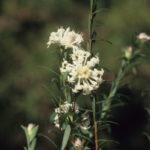 Pimelea linifolia, image Alan Fairley