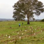 Planting underway and remnant paddock tree