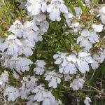 Prostanthera 'Poorinda Ballerina' plant and flowers