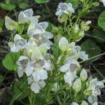 Prostanthera striatiflora flowers